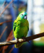 Emerald green colored parrots on branch — Stock Photo