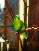 Emerald green colored parrots on branch. — Stock Photo