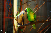 Green and gray colored parrots on branch. — Stock Photo