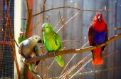 Red, gray and green colored parrots on branch. — Stock Photo