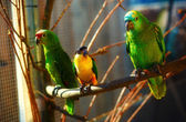 Green and yellow colored parrots on branch. — Stock Photo