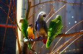 Gray and green colored parrots on branch. — Stock Photo