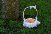 Chicken eggs in a basket near the tree — Stock Photo