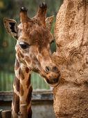 Wrinkles and giraffe, Valencia, Spain — Stock Photo