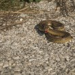 Angry snake on the ground — Stock Photo #62962729