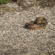 Angry snake on the ground — Stock Photo #63063893