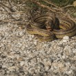 Angry snake on the ground — Stock Photo #63064273