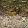 Angry snake on the ground — Stock Photo #63064515