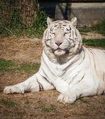 Beautiful white tiger — Stock Photo