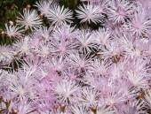 Pale pink flowers in Catalonia — Stock Photo