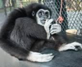 Little Black Gibbon — Stockfoto