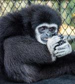 Little Black Gibbon — Stock Photo