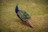 Large peacock on the lawn — Стоковое фото