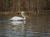 Dalmatian Pelican on Lake Prespa — Stock Photo