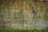 Ibis on Lake Prespa, Greece — Stock Photo