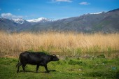 Cow on island of St. Ahileos — Stock Photo