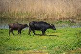 Cows on island of St. Ahileos — Stock Photo