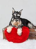 Valentine's Day schnauzer puppy dog — Stock Photo