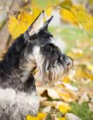 Autumn schnauzer dog — Stock Photo