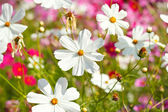 Cosmos flowers against the sky with color filter. — Stock Photo