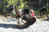 Turkey cock — Stock Photo