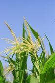 Raw corn on plant. — Stock Photo