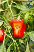 Pepper, disease — Stock fotografie