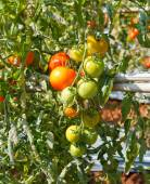 Many bunches with ripe red and unripe green tomatoes that growin — Stock Photo