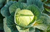 Close-up of fresh cabbage in the vegetable garden. — Stock Photo