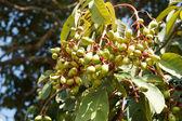 Wild Almond on plant,Irvingia malayana Oliv. — Zdjęcie stockowe