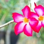 Adenium obesum, Desert Rose, Impala Lily, Mock Azalea — Stock Photo #69734109