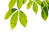 Rubber leaves background. — Stock Photo