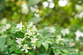 Orange Jessamine, Satin-wood, Cosmetic Bark Tree — Stock Photo