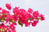 ピンクのブーゲンビリア glabra ショワジー花葉美しい Pa — ストック写真