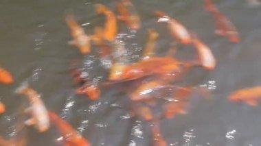 Goldfish — Stock Video