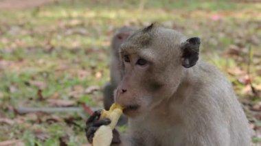 Affe isst bananen — Stockvideo