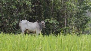 Farm and domestic animal — Stock Video