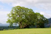 Big tree in field — Stock Photo