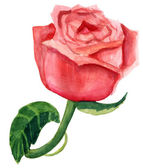 Decorative watercolor red rose on white background — Stock Photo