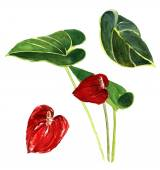 A watercolour botanical drawing of an anthurium flower — Stock Photo