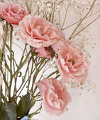Pink tea roses — Stock Photo