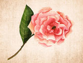 A vintage-styled watercolour drawing of a pink rose on textured brown paper, toned — Stock Photo