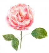 Akwarela styl vintage rysunek róża różowy na białym tle — Zdjęcie stockowe