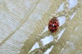 The Ladybug — Stock Photo