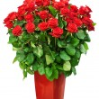 Big bunch of roses — Stock Photo #62566463