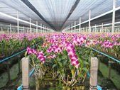 Plant nursery for Orchid flower in Thailand — Stock Photo