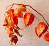 Physalis rostlina — Stock fotografie