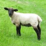 Spring Lamb — Stock Photo #62550149