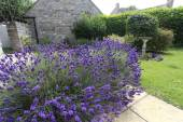 Lavender and birdbath — Stock Photo