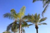Palm trees and blue skies — Stock Photo